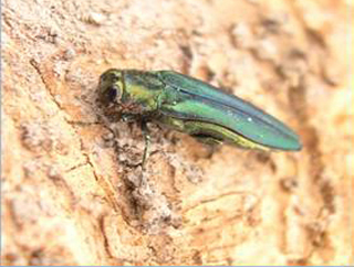 Governor proclaims Emerald Ash Borer Awareness Week