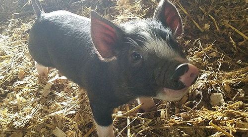 piglet on the Whiteheart Ranch